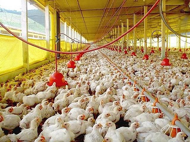Mangueras para criadero de pollos